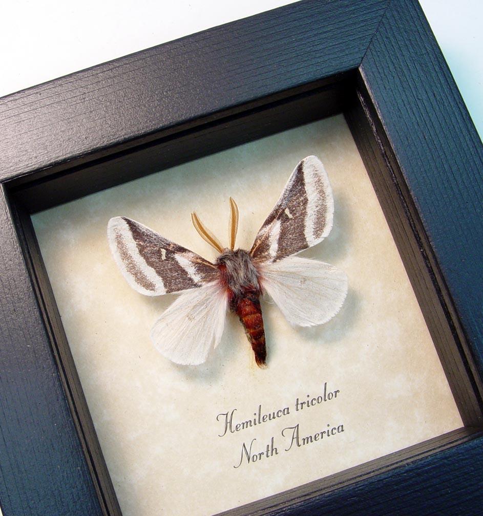 Hemileuca tricolor Buckmoth Moth ooak