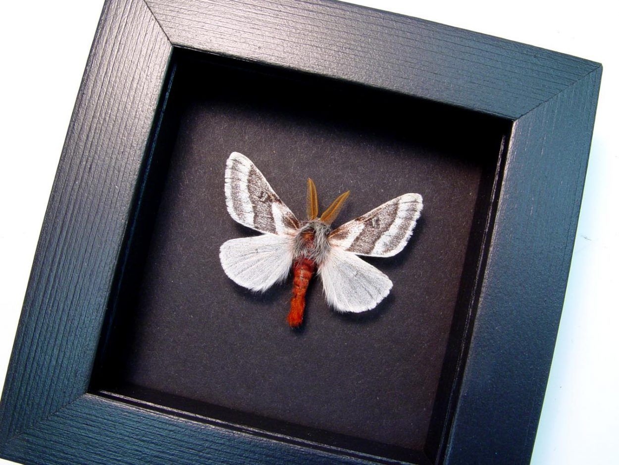 Hemileuca tricolor Buckmoth Moth Moonlight Display ooak