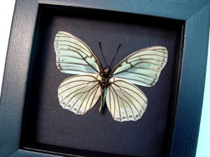 Hestina assimilis Female Verso White Butterfly Moonlight Display ooak