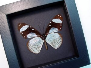 Hypolimnas anthedon Verso Blue African Butterfly Moonlight Display ooak