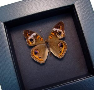 Junonia Coenia Framed Buckeye Butterfly Moonlight Display ooak