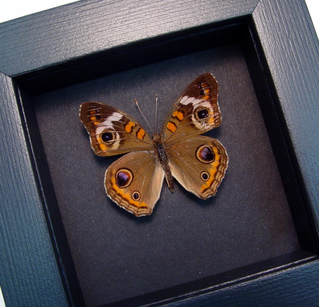 Junonia Coenia Framed Buckeye Butterfly Moonlight Display