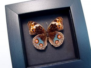 Junonia orithya Female Blue Pansy Butterfly Moonlight Display ooak
