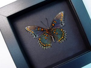 Limenitis Astyanax Male verso Red Spotted Purple Moonlight Display ooak OOAK One Of A Kind Item-The Specimen Pictured Is The Actual Item You Will Receive! Specimen size: 65mm Wingspan pecies: Limenitis Astyanax male verso Common Name:Red Spotted Purple