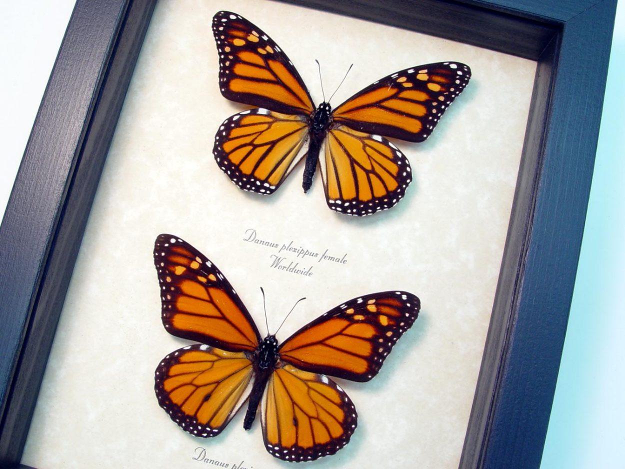 Danaus Plexippus Pair Framed Monarch Butterflies ooak
