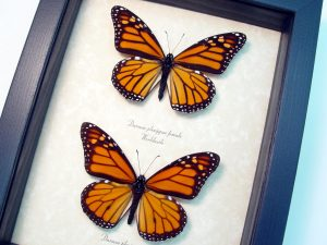 Danaus Plexippus Pair Framed Monarch Butterflies ooak