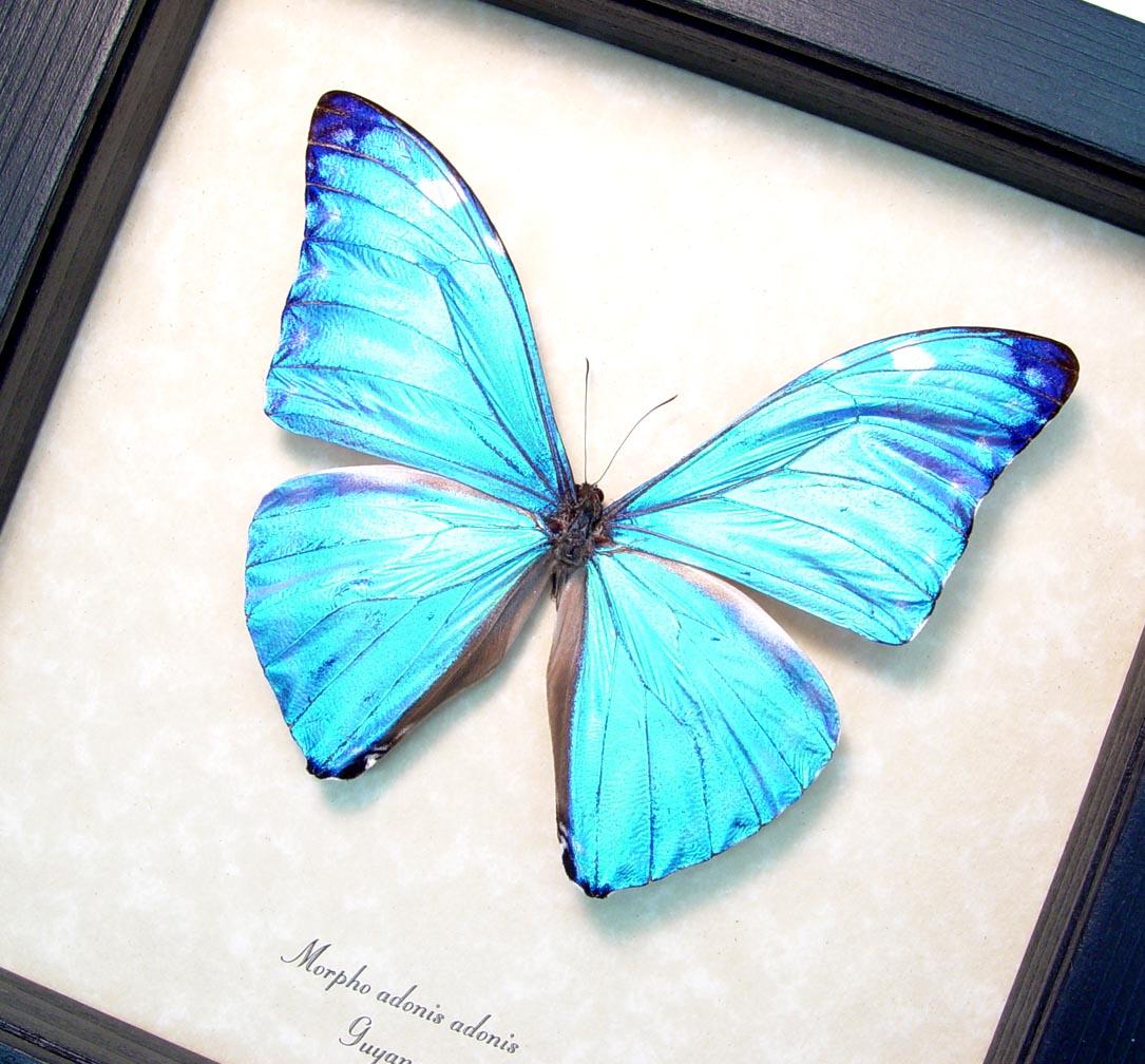 Blue Morpho Framed Butterfly ooak