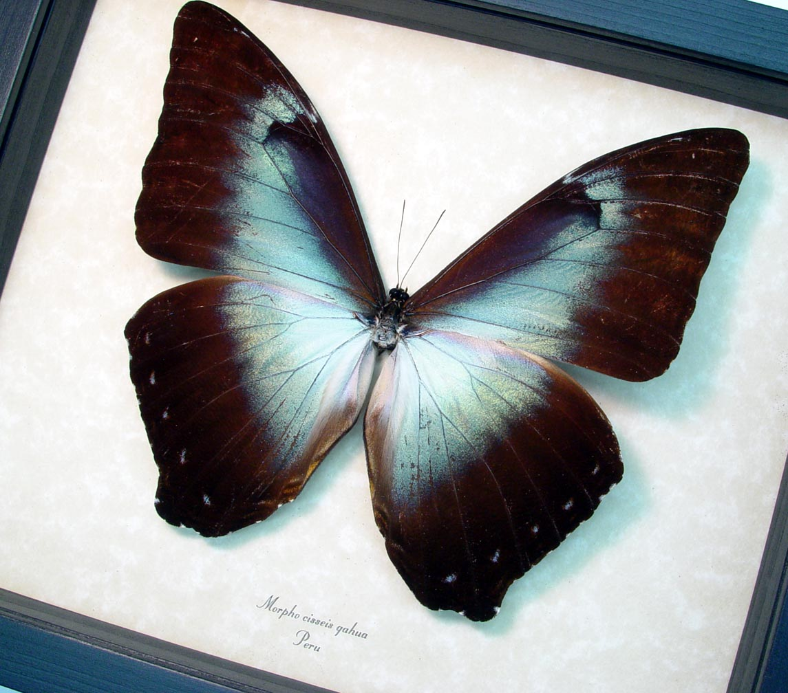 Framed Blue Morpho Butterfly ooak
