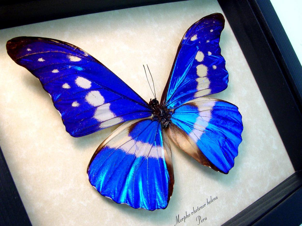 Framed Morpho Butterfly Morpho rhetenor helena ooak