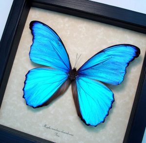 Framed Giant Blue Morpho Butterfly ooak