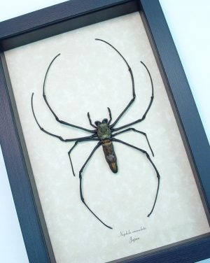 Japanese Orb Weaver Framed Spider ooak