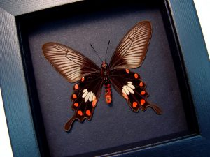 Pachlioptera aristolochile Common Rose Butterfly Moonlight Display ooak