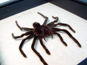 Framed Tarantula Bird Eating Spider ooak