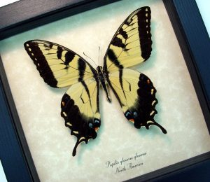 Papilio Glaucus Tiger Swallowtail Framed Butterfly ooak