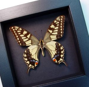 Papilio machaon Female Old World Swallowtail Moonlight Display ooak