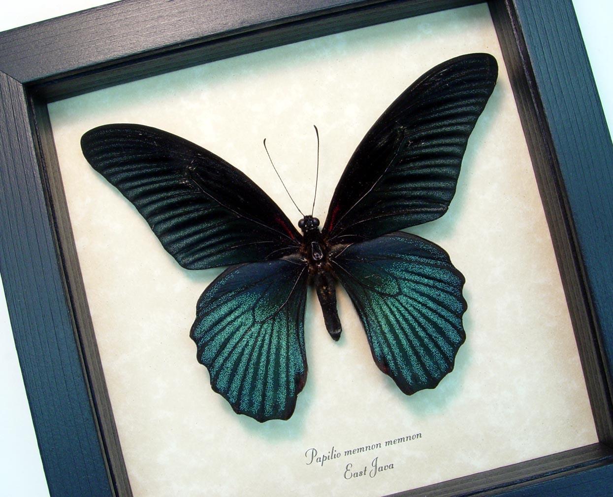 Papilio Memnon Great Mormon Black Butterfly ooak