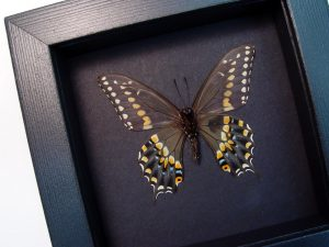 Papilio polyxenes verso Eastern Black Swallowtail Moonlight Display ooak