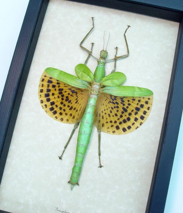 Framed Walking Stick Insect Paracyphocrania major ooak