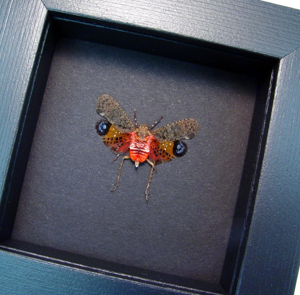 Penthicodes pulchella Sunrise Lanternfly Moonlight Display ooak