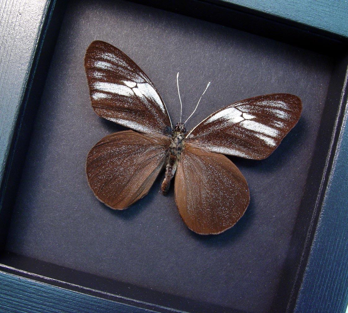 Pereute telthusa Black Ghost Butterfly Moonlight Display ooak
