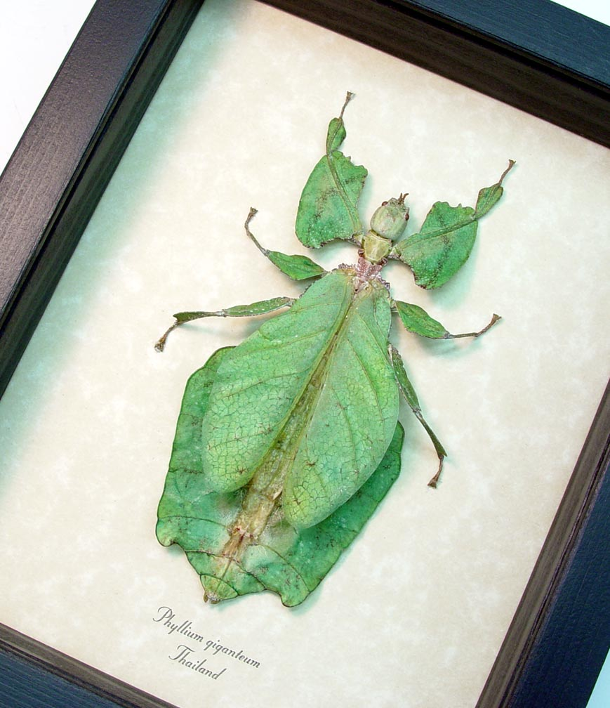 Phyllium giganteum Female Walking Leaf Insect ooak