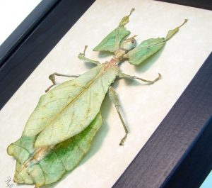 Phyllium giganteum Female Walking Leaf Insect Mottled ooak