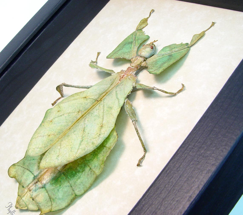 Phyllium giganteum Female Walking Leaf Insect Mottled ooak