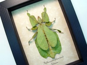 Green Walking Leaf Insect Phyllium pulchrifolium Female ooak