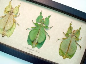 Framed Insects Phyllium pulchrifolium Walking Leaf Set ooak