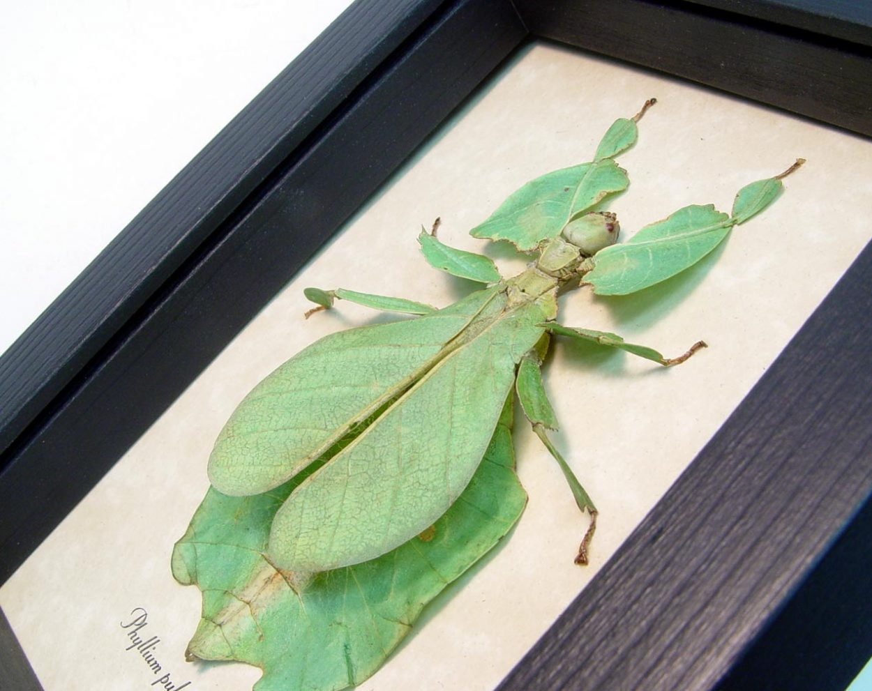 Green Walking Leaf Insect Phyllium pulchrifolium Female Green ooak