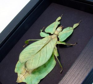 Green Walking Leaf Insect Moonlight Display ooak