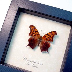 Polygonia interrogationis male Question Mark Butterfly ooak