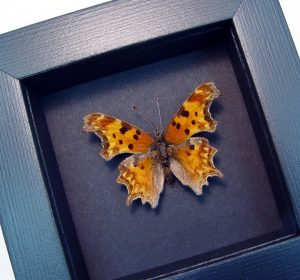 Polygonia satyrus Satyr Comma Moonlight Display ooak