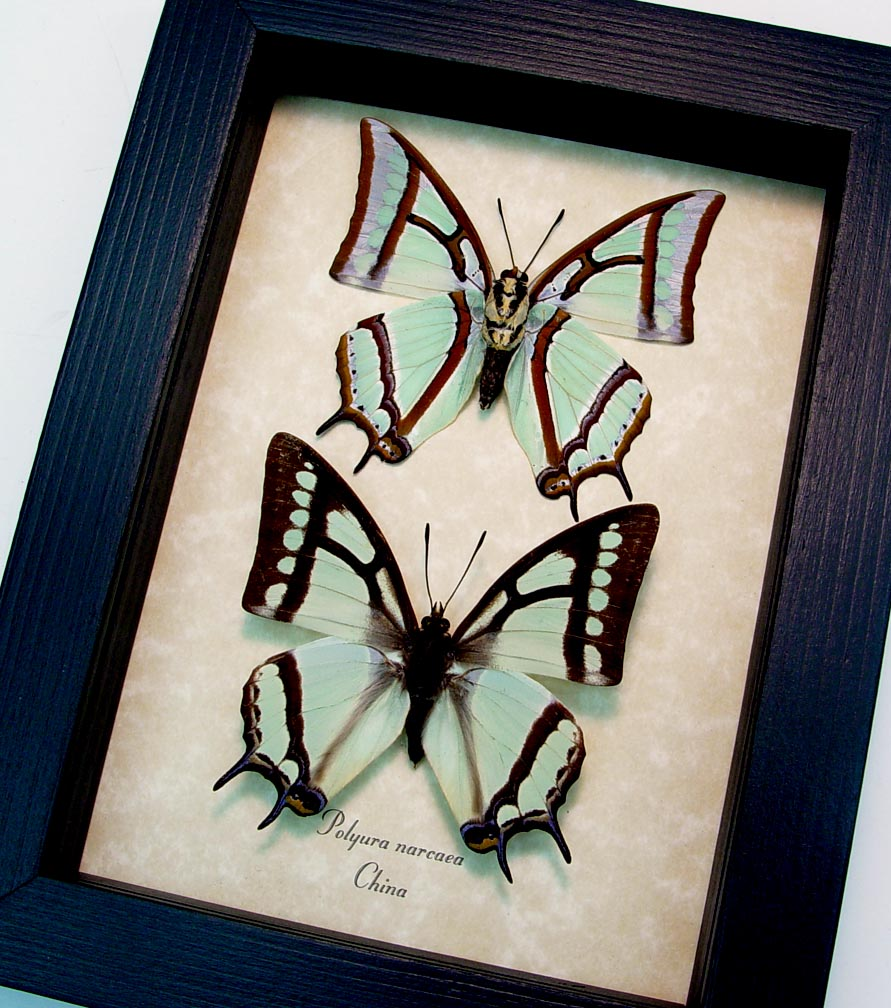Polyura narcaea Set China Nawab Green Dagger Wing Butterflies