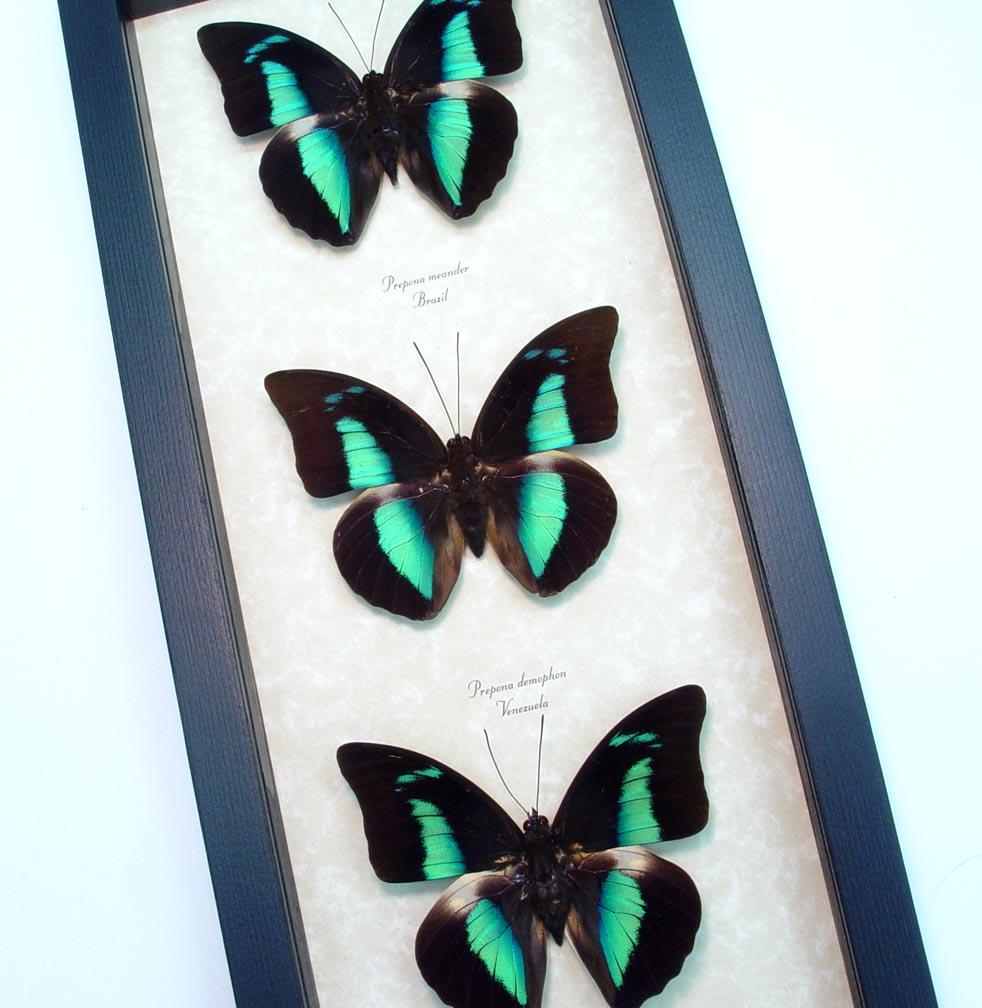 Framed Blue Butterfly collection Blue Reflector Butterflies
