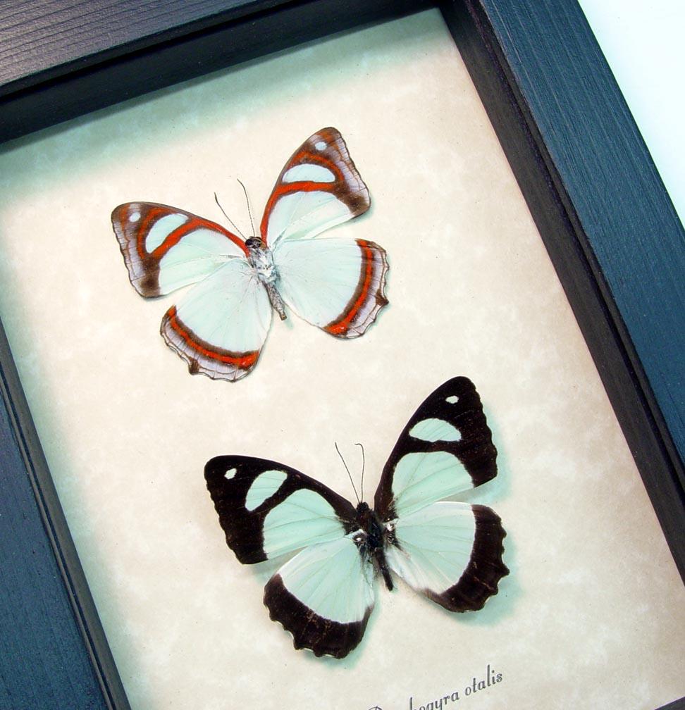 Mint Blue Framed Butterflies Pyrrhogyra otalais pair