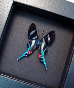 Rhetus arcius Blue Swallowtail Moonlight Display ooak