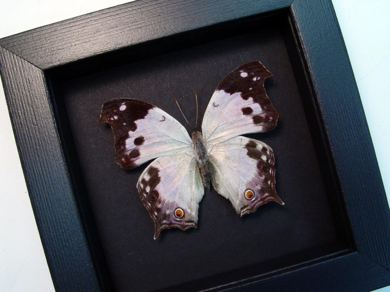 Salamis anacardii nebulosa Mother Of Pearl Butterfly Moonlight Display ooak
