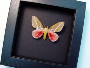 Sphingicampa raspa Pink silk moth Moonlight Display ooak