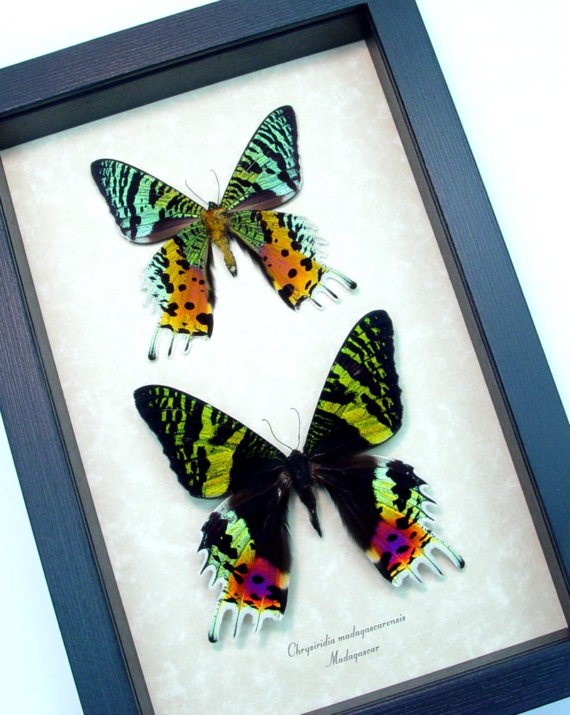 Framed Sunset Moth Pair Madagascar Moths ooak