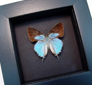 Tajuria cyrillus Male Blue Swallowtail Butterfly Moonlight Display