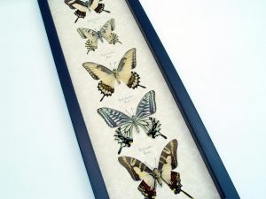 Real Framed Butterflies Tiger Swallowtail Butterfly Collection ooak