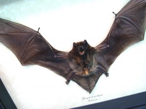 Framed Bat Flying Bamboo Bat Tylonycteris pachypus ooak
