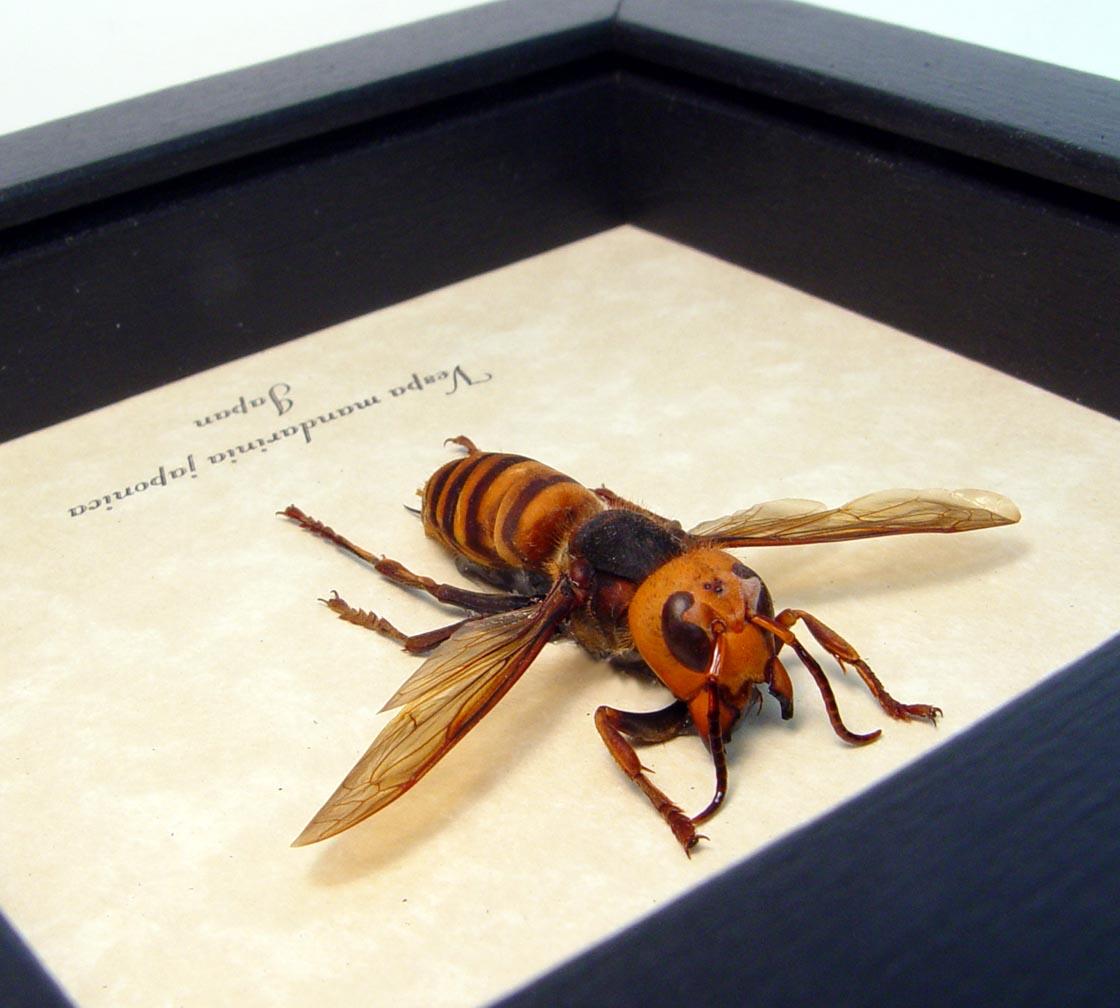 Vespa mandarinia japonica Murder Hornet Asian Hornet ooak