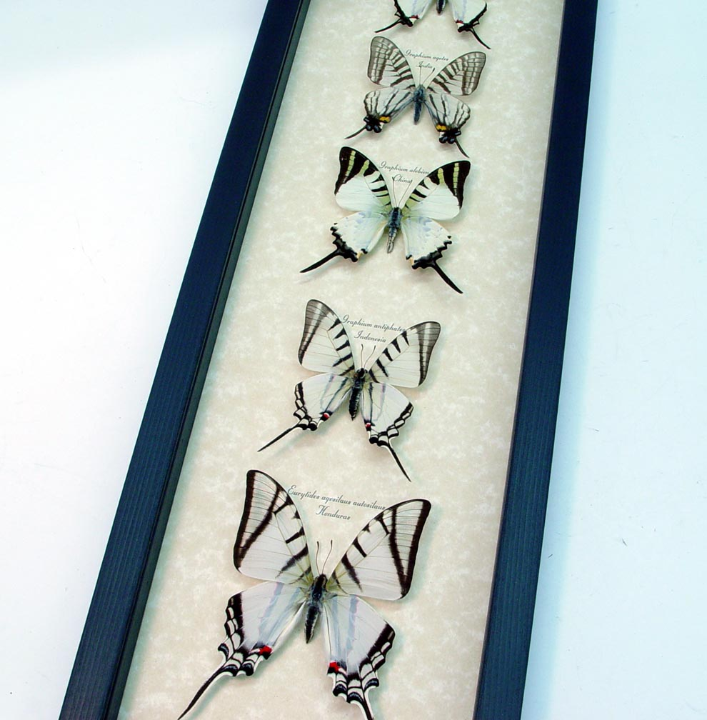 Wedding White Swallowtail Butterfly Collection ooak