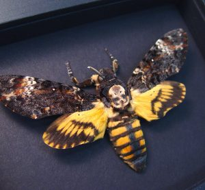 Death's Head Moth Acherontia atropos Female Moonlight Display ooak