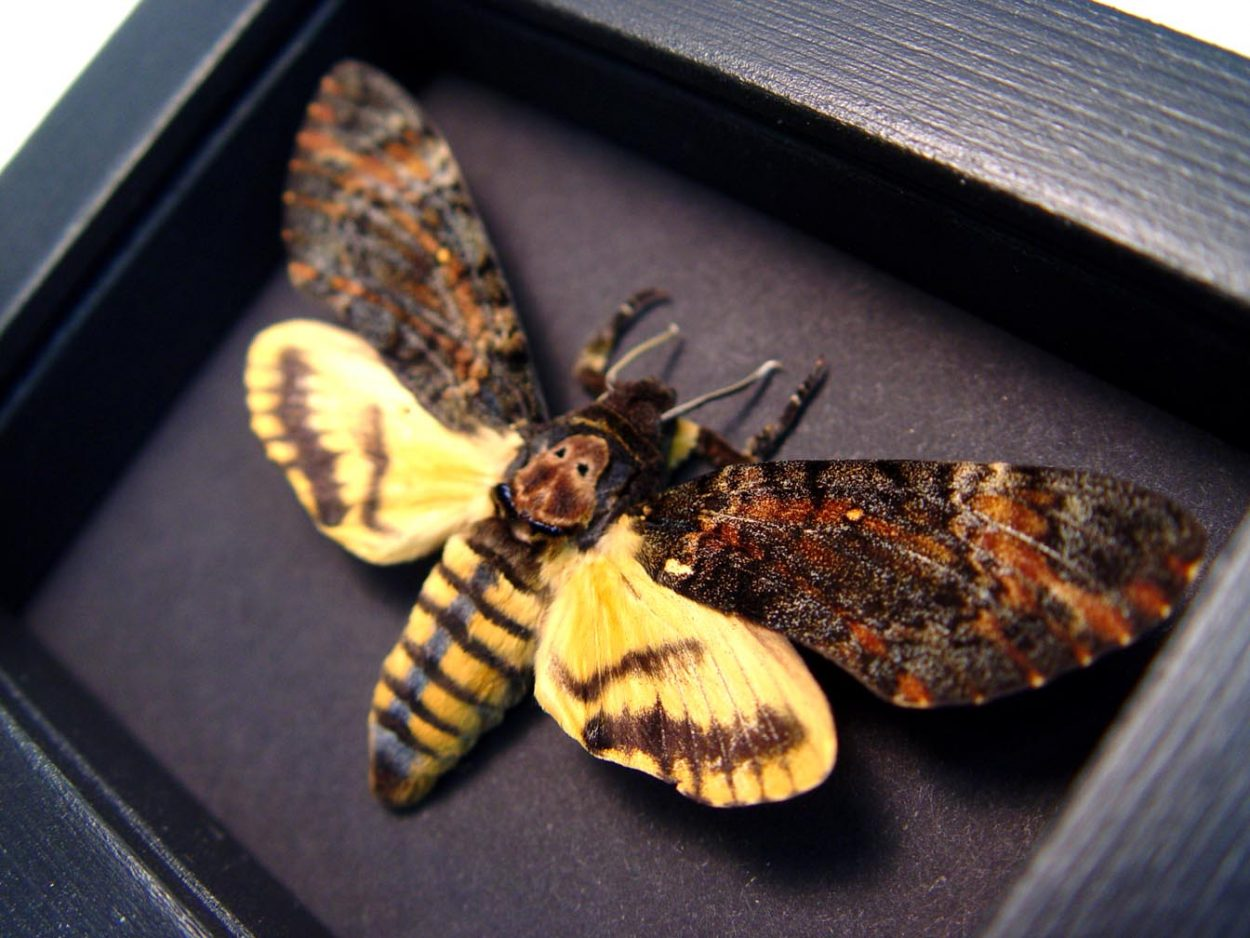 Acherontia styx Male Death Head Moth Moonlight Display
