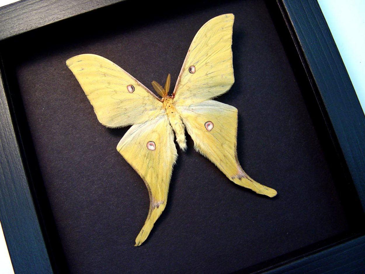 Actias sinensis Chinese Moon Moth Moonlight Display ooak
