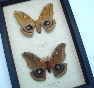 Antheraea polyphemus Pair Silkmoths Moths ooak