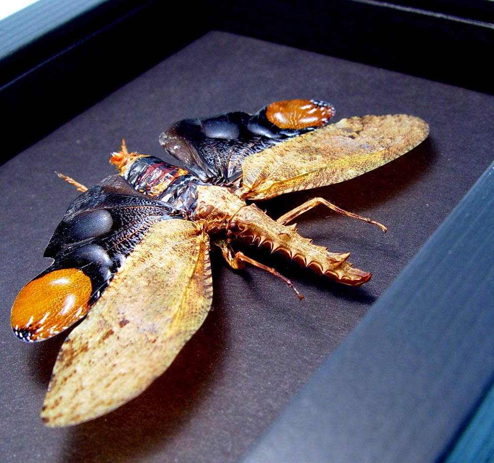 Crocodile Lanternfly Framed Cathedra serrata Moonlight Display ooak